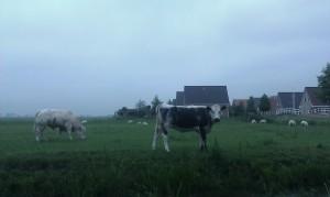 Cows in meadow Friesland Nederland koeien weiland