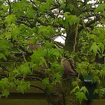 two doves tree duiven boom vogel bird