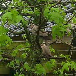 two doves in tree vogel birdduiven boom