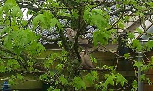 two doves in tree vogel birdduiven boom