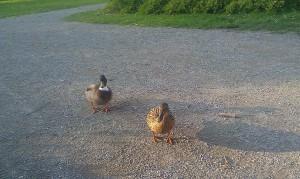 Ducks road eenden weg vogel bird