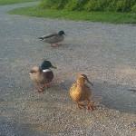 Ducks road eenden weg vogel bird
