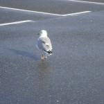 Gull 6