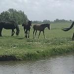 horses foals paarden veulens