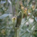 Floral caterpillars