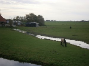 horses in meadow friesland nederland paard weiland