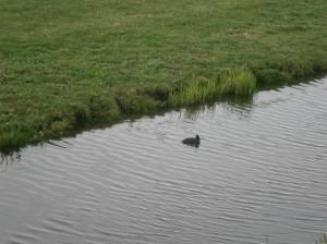 Coot canal meerkoet sloot vogel bird