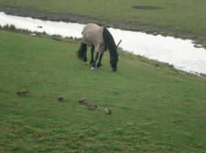 frisian horse blanket in meadow friesland Nederland friep paard deken