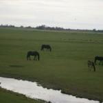 frisian horses meadow friesland nederland friese paarden weiland