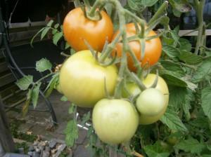 Food tomatoos tomaten