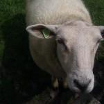 sheep schaap
