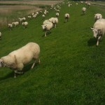 sheep dike schapen dijk