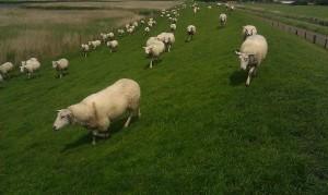 sheep dike schapen dijk