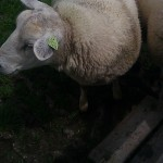 sheep schaap