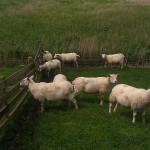 sheep schapen dike dijk