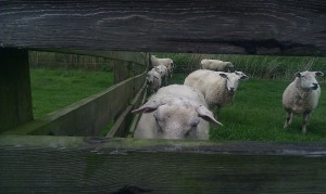 sheep schapen dike dijk