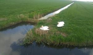 Swans Zwanen vogel bird