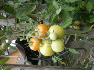 Tomatoos