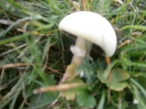Wild Mushroom on dike IJsselmeer, Wilde paddestoel