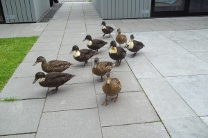 cocky ducks eenden vogel bird