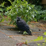 Black chew Bird zwarte kauw vogel bird