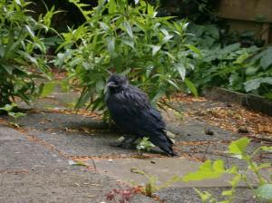 Black chew Bird zwarte kauw vogel bird