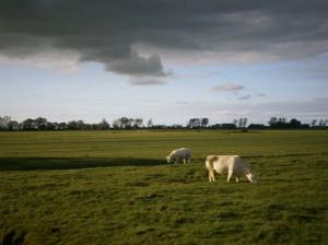 Cows in meadow Friesland Animal koe weiland