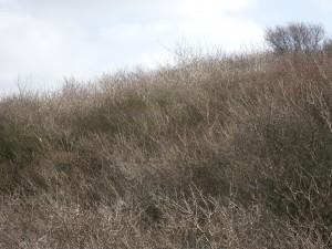 dunes-sea-buckthorn