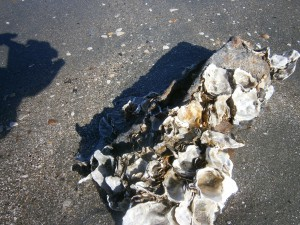 oyster-shell-3