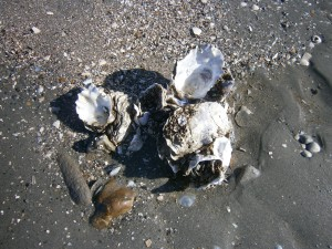 oyster-shell-4
