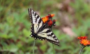 swallowtail-butterfly 1