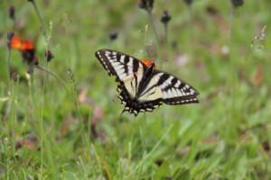 swallowtail-butterfly 2