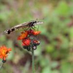 swallowtail-butterfly 3