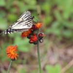 swallowtail-butterfly 4