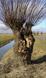 Tree Pollard Willow