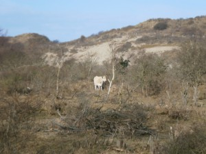 Wild heck cattle