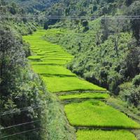 Paddy field Thailand
