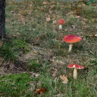 Wilde Paddenstoelen, Wild Mushroom