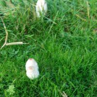 Wilde Paddenstoel, wild Mushroom